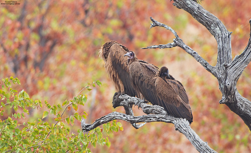 Hooded Vulture immature