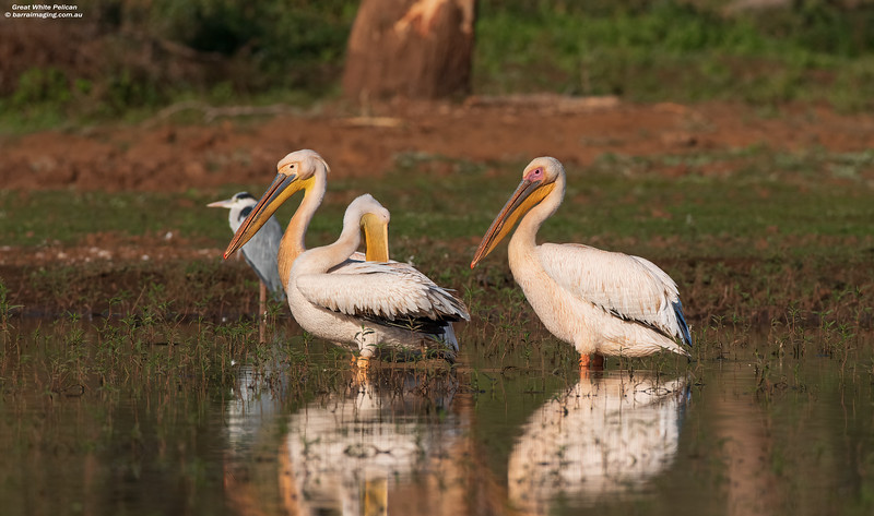 Great White Pelican adult and immature
