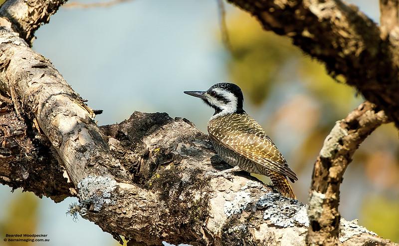 Bearded Woodpecker female