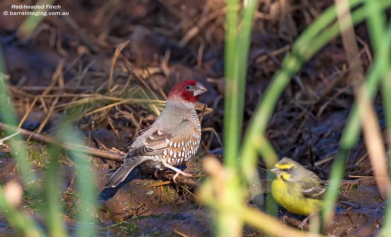Red-headed Finch male