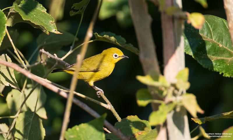 Southern Yellow White-eye