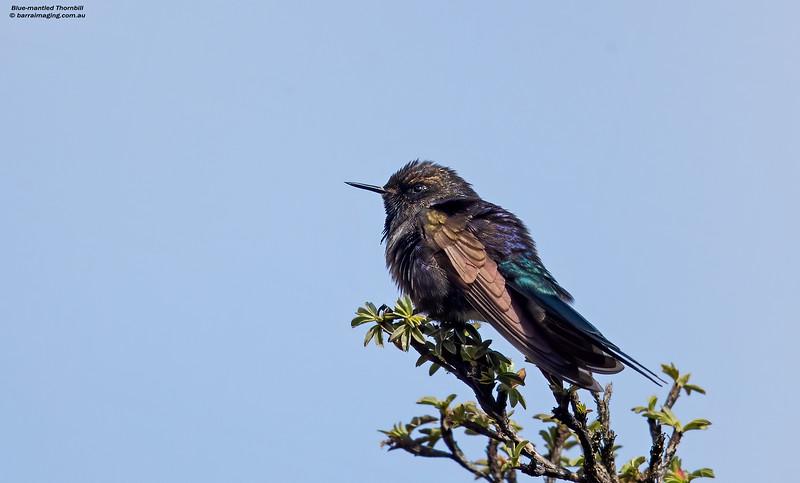 Blue-mantled Thornbill male