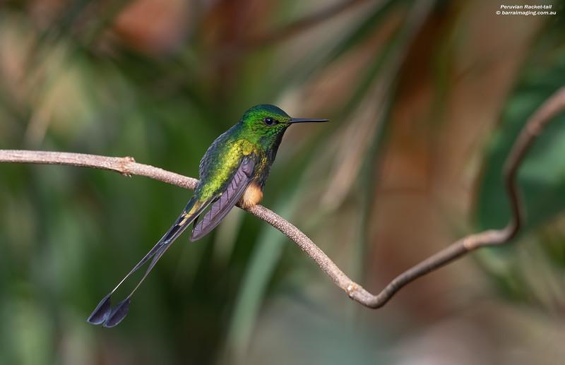 Peruvian Racket-tail male