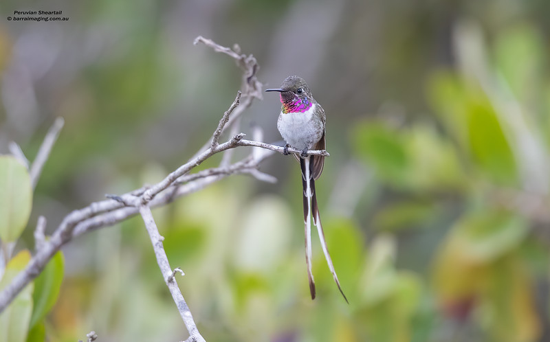 Peruvian Sheartail male