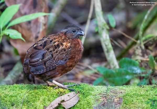 Rufous-breasted Wood Quail female