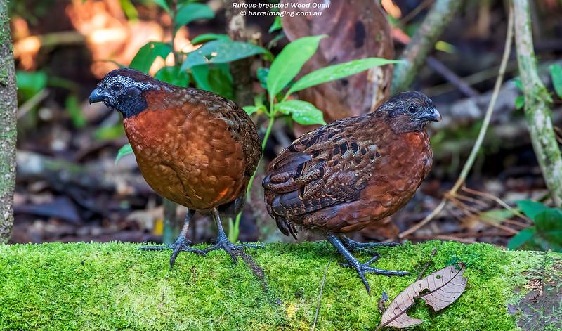 Rufous-breasted Wood Quail male & female