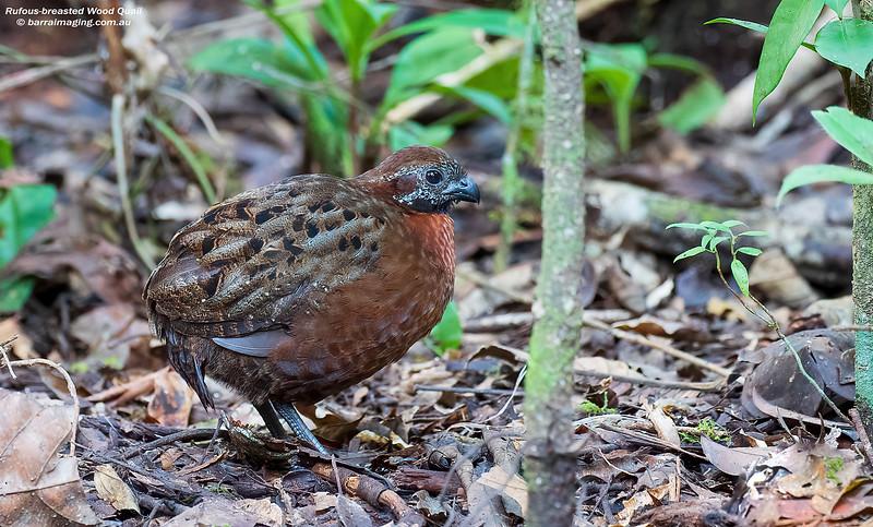 Rufous-breasted Wood Quail immature male