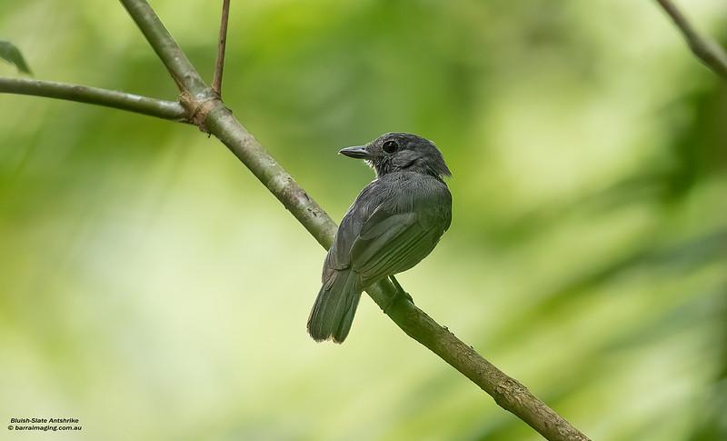 Bluish-Slate Antshrike male