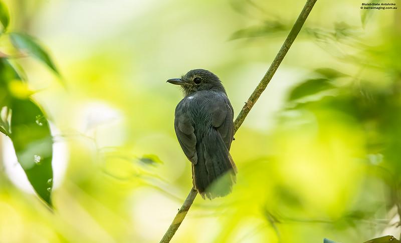 Bluish-Slate Antshrike female