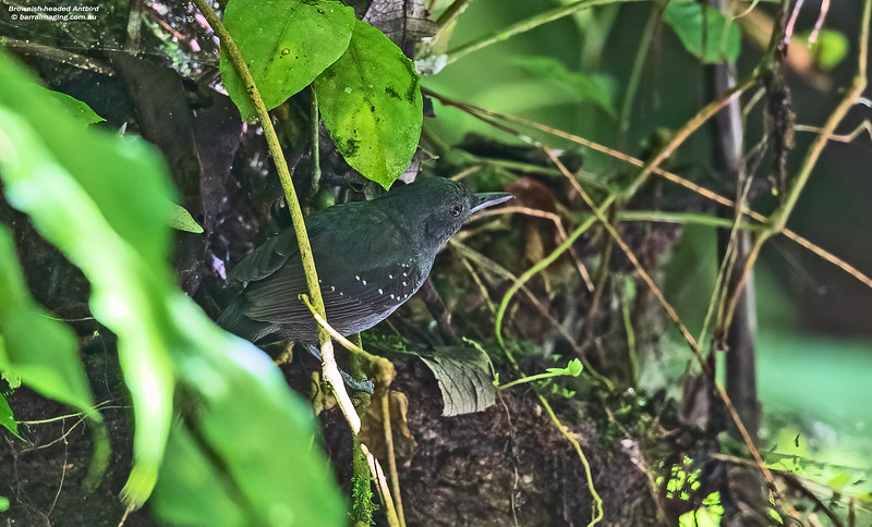 Brownish-headed Antbird