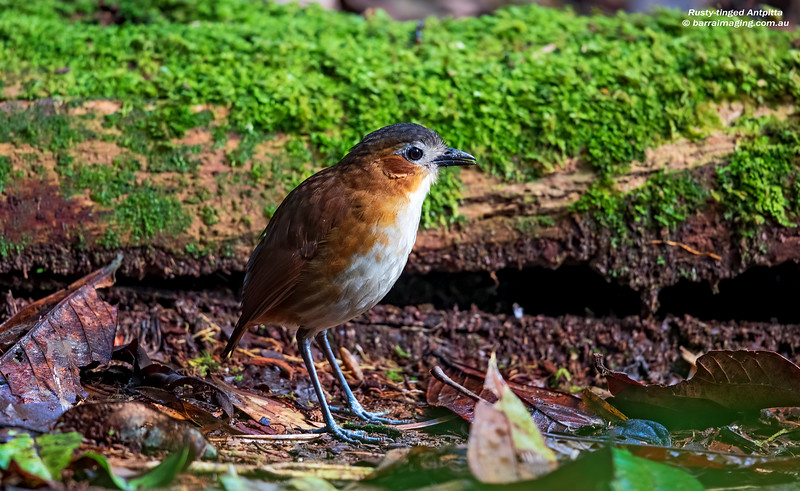 Rusty-tinged Antpitta