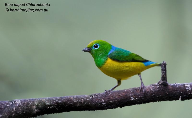 Blue-naped Chlorophonia male