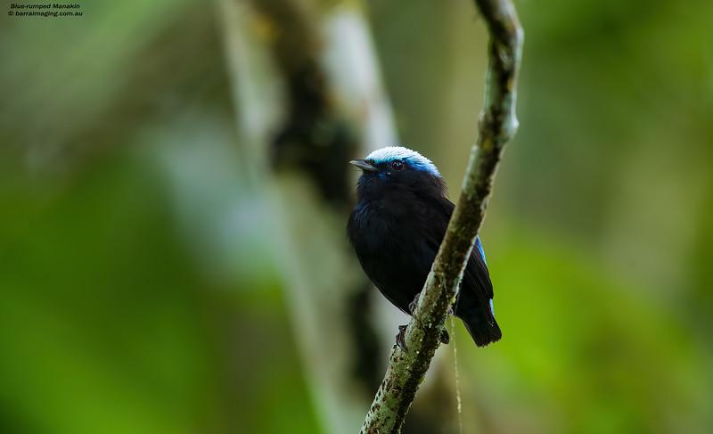 Blue-rumped Manakin male