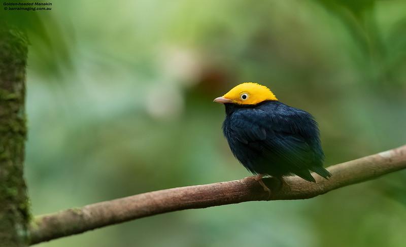 Golden-headed Manakin male