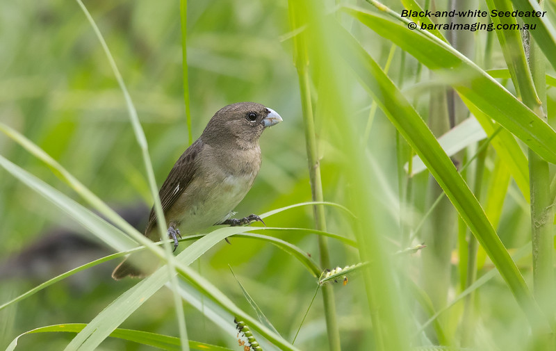 Black-and-white Seedeater male non-breeding