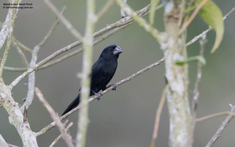 Black-billed Seed Finch male