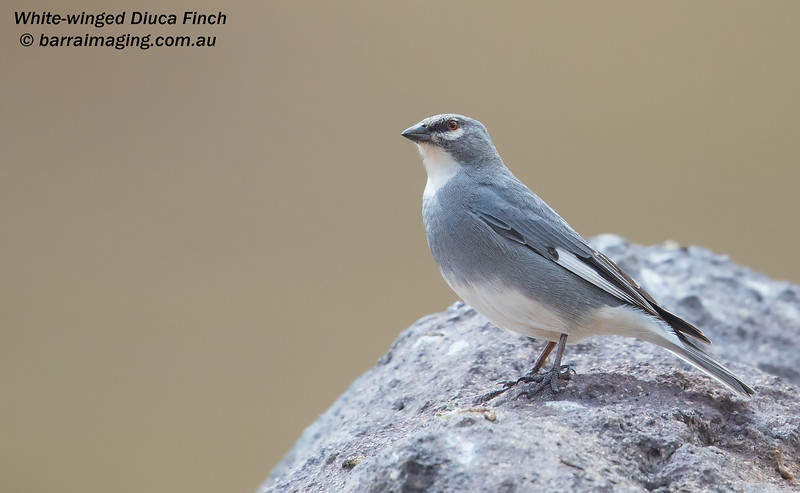 White-winged Diuca Finch