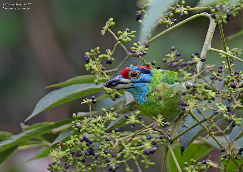 Turquoise-throated Barbet