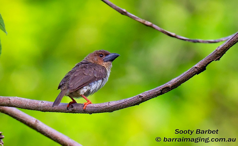 Sooty Barbet
