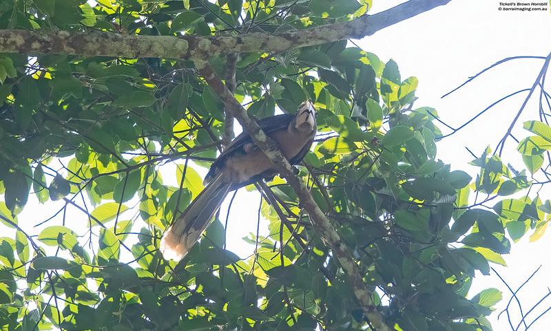 Tickell's Brown Hornbill