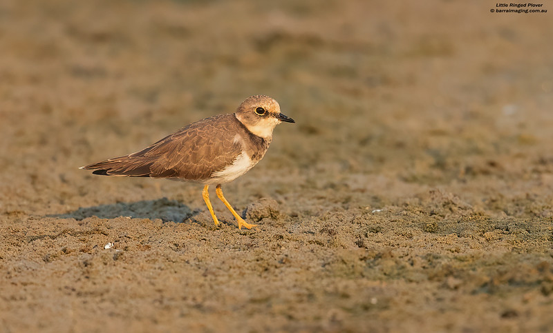 Little Ringed Plover immature