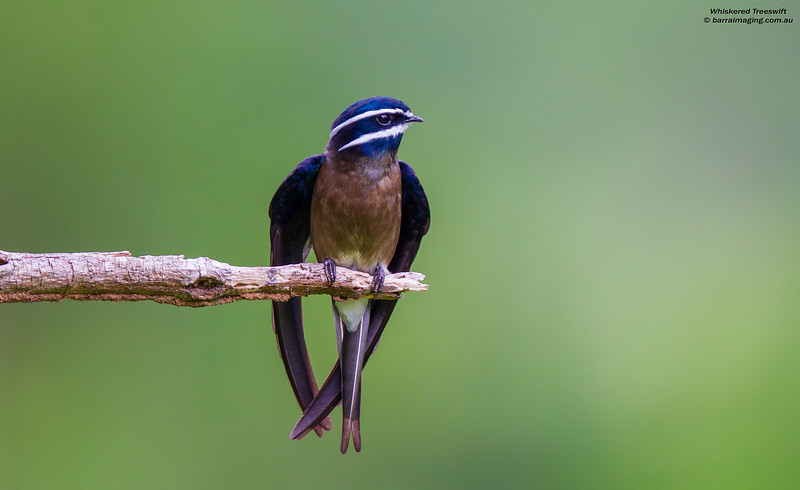 Whiskered Treeswift female