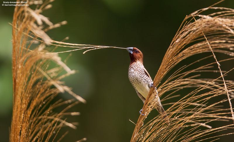 Scaly-breasted Munia