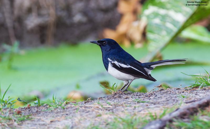 Oriental Mapie-Robin