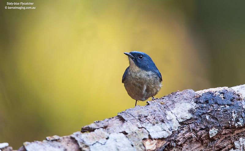 Slaty-blue Flycatcher male