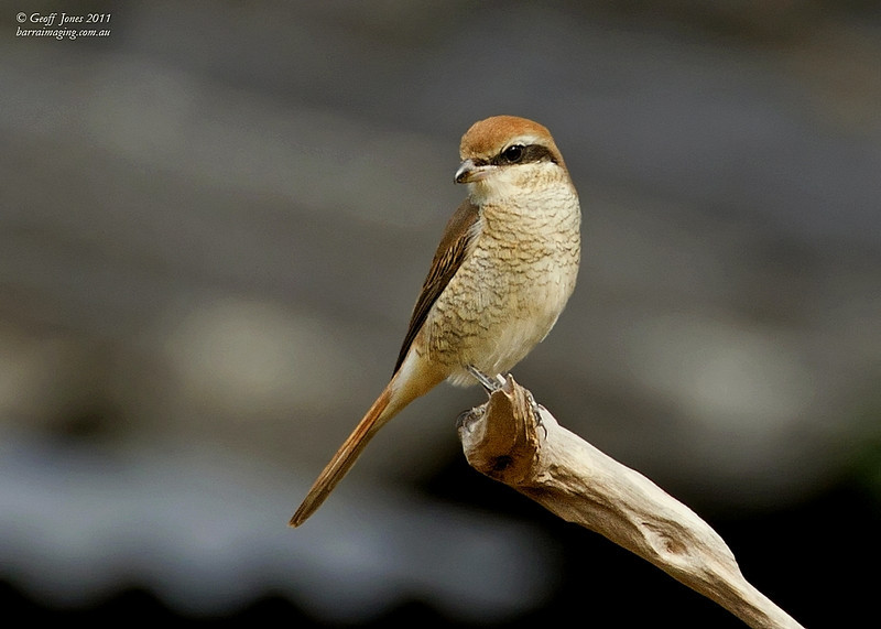 Brown Shrike immature