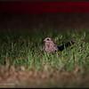 "SAVANNA NIGHTJAR <i>Caprimulgus affinis</i> Alabang, Muntinlupa, Philippines  more pictures in the <a href=""http://tonjiandsylviasbirdlist.smugmug.com/List/nj/snj/11530273_3zBHp#811812480_P47A6"">Savanna Nightjar gallery</a>"