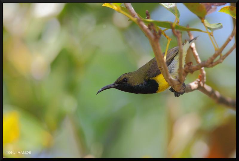 "OLIVE BACKED SUNBIRD <i>Nectarinia jugularis</i> Alabang, Philippines  More pictures of this bird in the <a href=""http://tonjiandsylviasbirdlist.smugmug.com/gallery/7303763_Hme8U/1/515819183_azYie"">Olive Backed Sunbird gallery</a>"