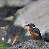 "More pictures of the Common Kingfisher in the <a href=""http://tonjiandsylviasbirdlist.smugmug.com/gallery/7346748_ujyou/1/485536284_8ovfW"">Common Kingfisher gallery</a>"