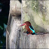 "WHITE THROATED KINGFISHER <i>Halycon smyrnensis</i> Ayala Alabang, Muntinlupa, Philippines  more pictures in the <a href=""http://tonjiandsylviasbirdlist.smugmug.com/List/Kingfishers/White-Throated-Kingfisher/7320205_S5tJ4Q"">White-throated Kingfisher gallery</a>"