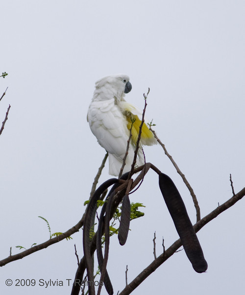 """UMBRELLA COCKATOO  <i>Cacatua alba</i> Alabang, Muntinlupa, Philippines  This bird is an escape and not normally found in the Philippines.  more pictures in the <a href""""http://tonjiandsylviasbirdlist.smugmug.com/Other/Umbrella-Cockatoo/7994947_vpDn8"""">Umbrella Cockatoo gallery>"""