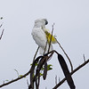 "UMBRELLA COCKATOO  <i>Cacatua alba</i> Alabang, Muntinlupa, Philippines  This bird is an escape and not normally found in the Philippines.  more pictures in the <a href""http://tonjiandsylviasbirdlist.smugmug.com/Other/Umbrella-Cockatoo/7994947_vpDn8"">Umbrella Cockatoo gallery>"