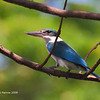 "WHITE COLLARED KINGFISHER <i>Halcyon chloris</i> Alabang, Philippines  This fellow was taken from our bedroom window.  More pictures of this bird in the <a href=""http://tonjiandsylviasbirdlist.smugmug.com/gallery/7311269_G46G7/1/509352012_jNfxL"">White Collared Kingfisher gallery</a>"