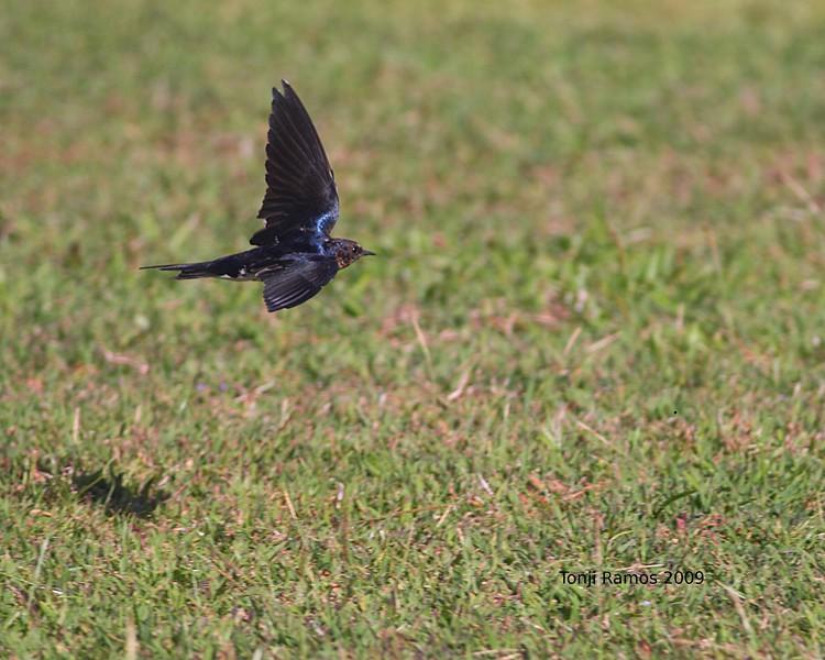 "BARN SWALLOW <i>Hirundo rustica</i> Alabang, Philippines  More pictures of this bird in the <a href=""http://tonjiandsylviasbirdlist.smugmug.com/gallery/7363437_Vu5Jo/1/474034435_TvehL"">Barn Swallow gallery</a>"