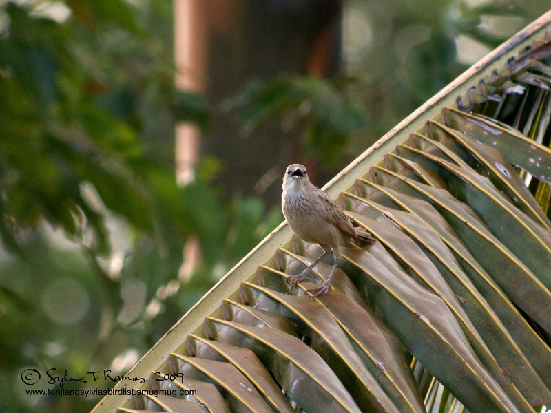 """STRIATED GRASSBIRD  <i>Megalurus palustris</i> Alabang,Muntinlupa, Philippines  More pictures of this bird in the <a href=""""http://tonjiandsylviasbirdlist.smugmug.com/gallery/7303023_NfnJb/1/469665803_HQwZS"""">Striated Grassbird gallery</a>"""