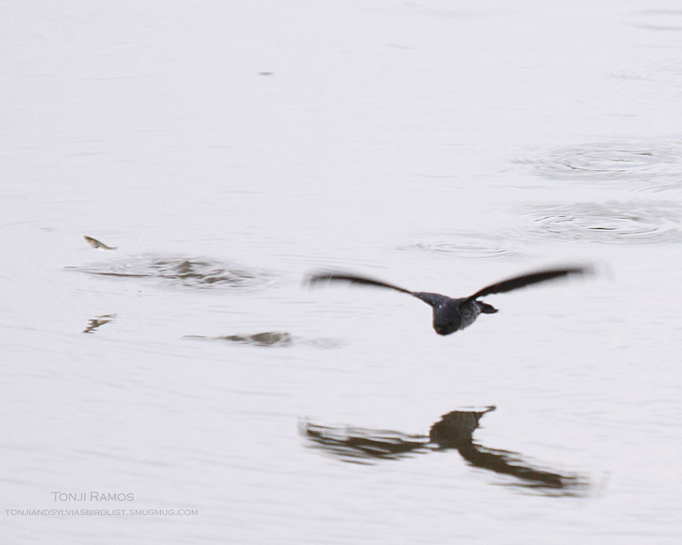 """GLOSSY SWIFTLET  <i>Collocalia esculenta</i> Ayala Alabang, Muntinlupa, Philippines  A swiftlet skimming the water. A little guppy freaks and jumps.  More pictures of this bird in the <a href=""""http://tonjiandsylviasbirdlist.smugmug.com/gallery/8232507_jnf8b/1/540378477_eBeNG"""">Glossy Swiftlet gallery</a>"""