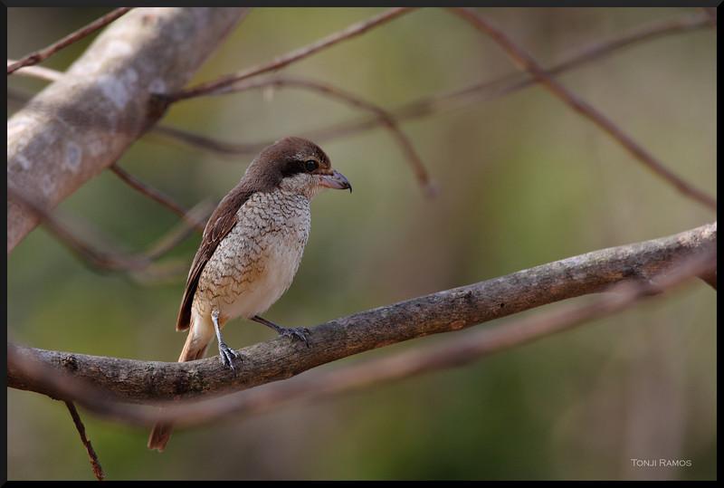 "BROWN SHRIKE <i>Lanius cristatus</i> Alabang, Muntnlupa, Philippines  More pictures of this bird in the <a href=""http://tonjiandsylviasbirdlist.smugmug.com/gallery/7315192_jwrHi/1/470564275_QSAYc"">Brown Shrike gallery</a>"