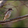 "BROWN SHRIKE <i>Lanius cristatus</i> Alabang, Muntnlupa, Philippines  More pictures of this bird in the <a href=""http://tonjiandsylviasbirdlist.smugmug.com/gallery/7315192_jwrHi/1/470564275_QSAYc"">Brown Shrike gallery</a>"