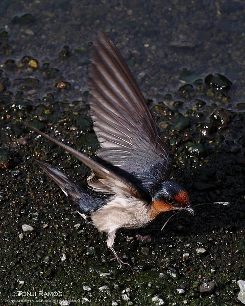 """PACIFIC SWALLOW <i>Hirundo rustica</i> Ayala Alabang, Muntinlupa, Philippines  More pictures of this bird in the <a href=""""http://tonjiandsylviasbirdlist.smugmug.com/gallery/7314940_ekpNi/1/540058958_HSBdW""""> Pacific Swallow gallery</a>"""