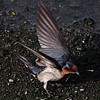 "PACIFIC SWALLOW <i>Hirundo rustica</i> Ayala Alabang, Muntinlupa, Philippines  More pictures of this bird in the <a href=""http://tonjiandsylviasbirdlist.smugmug.com/gallery/7314940_ekpNi/1/540058958_HSBdW""> Pacific Swallow gallery</a>"