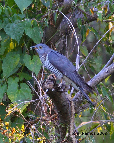 "Oriental Cuckoo  <i>Cuculus saturatus</i> Alabang, Muntinlupa  More pictures of this bird in the <a href=""http://tonjiandsylviasbirdlist.smugmug.com/gallery/7907149_7sC5v/1/514943340_WMV2V"">Oriental Cuckoo gallery</a>"