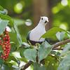 Black-chinned Fruit Dove