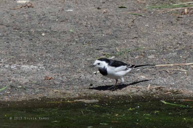 "WHITE WAGTAIL, male <i>Motacilla alba leucopsis</i> Ayala Alabang, Muntinlupa, Philippines  more pictures at <a href=""http://www.tonjiandsylviasbirdlist.com/BirdsPhilippines/Wagtails-and-Pipits/White-Wag/19897508_JP4SKb"">White Wagtail gallery</a>"