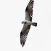 "OSPREY <i>Pandion haliaetus</i> Ayala Alabang, Muntinlupa, Philippines  More pictures of this bird in the <a href=""http://tonjiandsylviasbirdlist.smugmug.com/gallery/8267390_8gFEh/1/541014779_uJS3M""> Osprey gallery</a>"