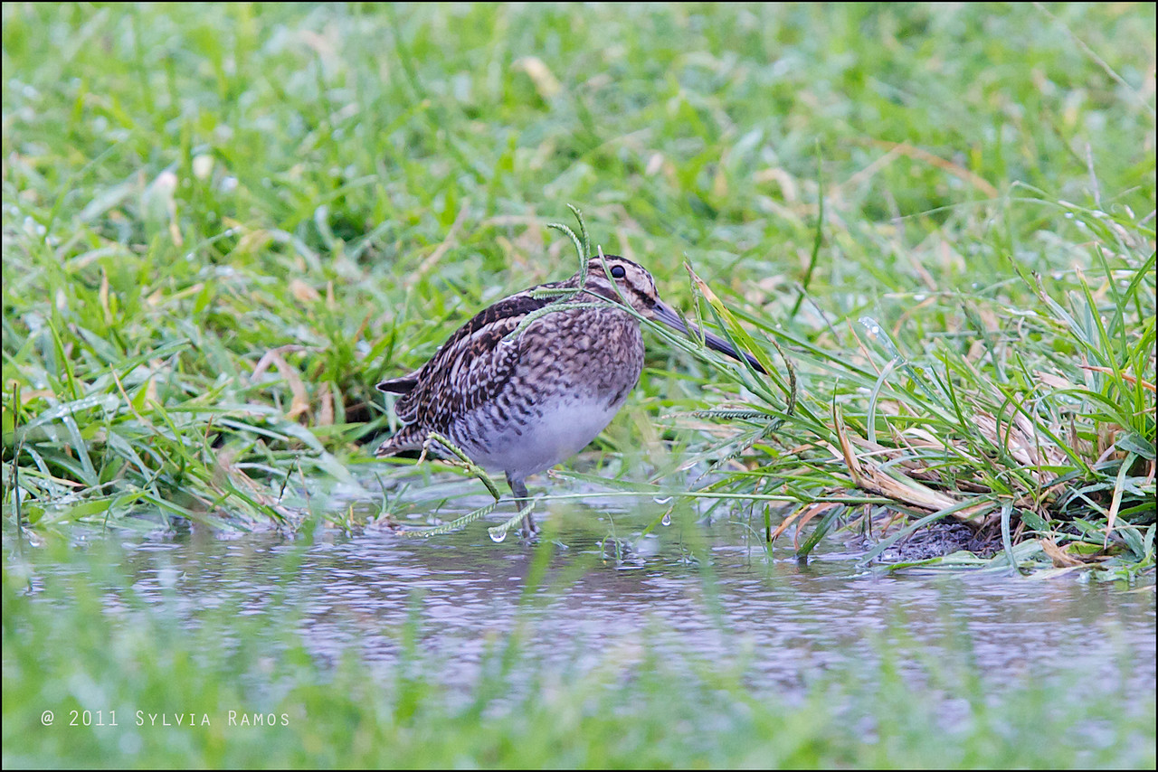 "COMMON SNIPE <i>Gallinago gallinago</i> Batan, Batanes, Philippines  more pictures in the <a href=""http://tonjiandsylviasbirdlist.smugmug.com/List/shore/COMMON-SNIPE/19931733_CpMp9X"">Common Snipe gallery</i>"