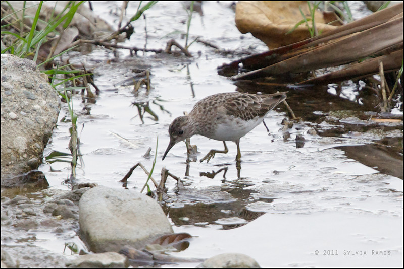 LONG-TOED STINT <i>Calidris ruficollis</i> Batan, Batanes, Philippines  note the long toes!